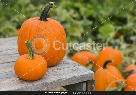 Pumpkins on a wooden platform stock photo, Halloween time when you get to find your own pumpkins by txking