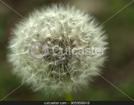 Dandelion. Fluffy white flower. stock photo, Dandelion. Fluffy white flower. Ripened dandelion seeds by Oleksii Tim