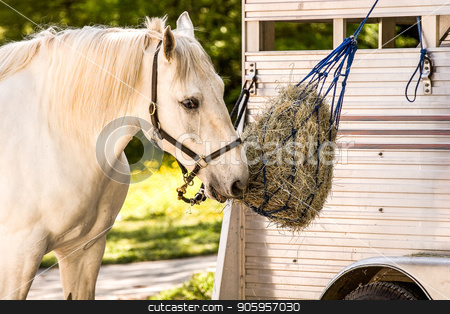 White Horse at Feedbag stock photo, A white horse eating of of a feedbag hanging from a trailer by Darryl Brooks
