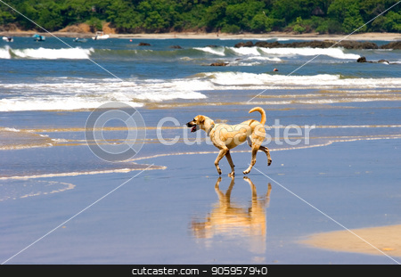 Yellow Dog on Beach stock photo, A small yellow dog running down the beach with reflection by Darryl Brooks