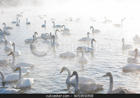 Beautiful white whooping swans stock photo, Beautiful white whooping swans swimming in the nonfreezing winter lake. The place of wintering of swans, Altay, Siberia, Russia. by olinchuk