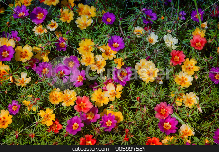 Beautiful colorful Portulaca flowers bloom on the flower bed. stock photo, On a bed of beautiful flowers bloom Portulaca, a variety of colors. Presented close-up. by Georgina198