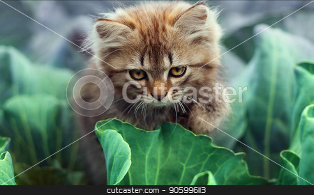 A little cute kitten playing in the green grass stock photo, A little cute kitten playing in the green grass, fluffy kitten in the grass, the cat was found in the cabbage by Gorgeoussab