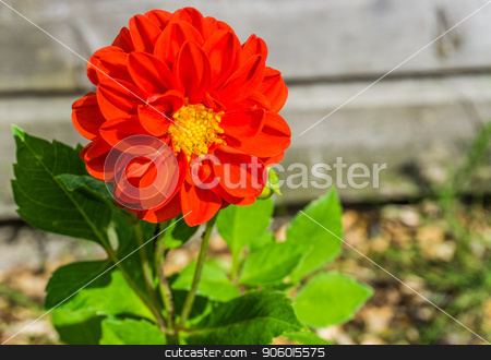 beautiful big vibrant red colorful flower macro close up