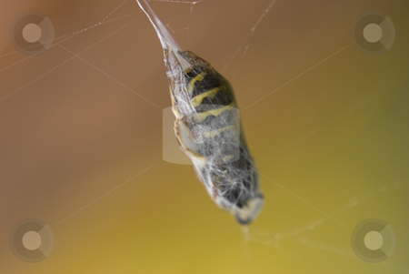 Macro of bee in web stock photo, Macro of bee in spider web by John Teeter