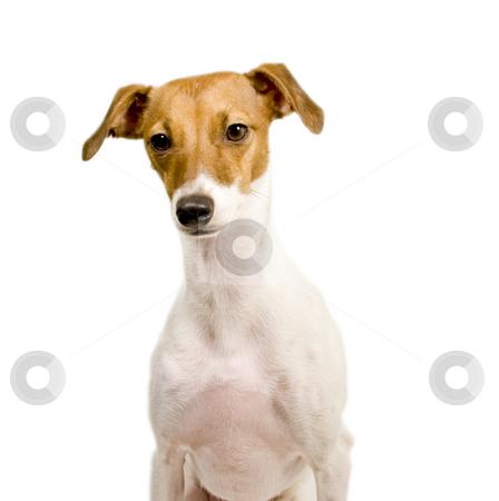Italian greyhound looking down stock photo, Italian greyhound looking down isolated by John Teeter