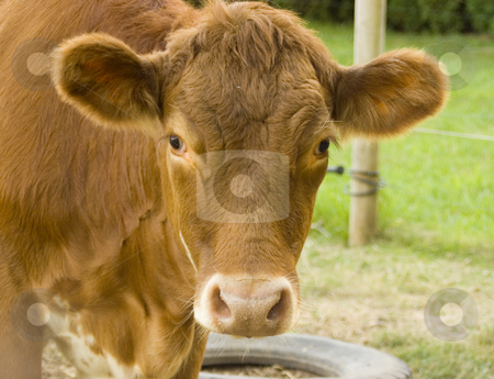 Cow looking forward stock photo, Cow looking forward at photographer by John Teeter