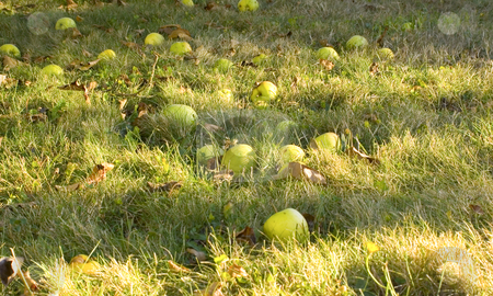 Fallen Apples stock photo, Apples fallen from tree on ground by John Teeter