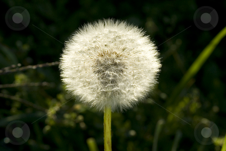 Dandelion ready to reseed stock photo, Dandelion ready to reseed for new growth by John Teeter