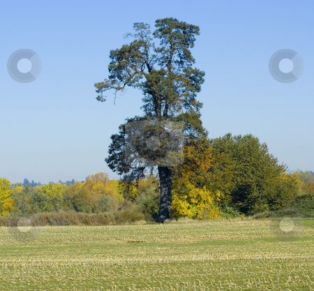 Large Tree in field stock photo, Large tree in field during fall season by John Teeter