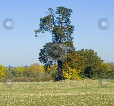 Large Tree in field stock photo, Large tree in field during fall season by John Teeter