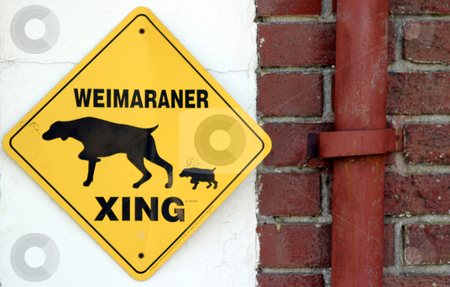 Weimaraner Xing stock photo, Yelloww warning sign with weimaraner and writing by Henrik Lehnerer