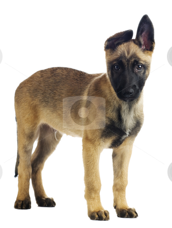 Cute puppy stock photo, Cute puppy looking straight into the camera by Tommy Maenhout