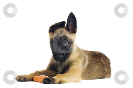 Cute puppy stock photo, Cute puppy eating a tasty carrot by Tommy Maenhout