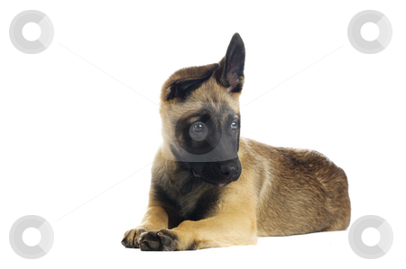 Cute puppy stock photo, Cute puppy over white background by Tommy Maenhout