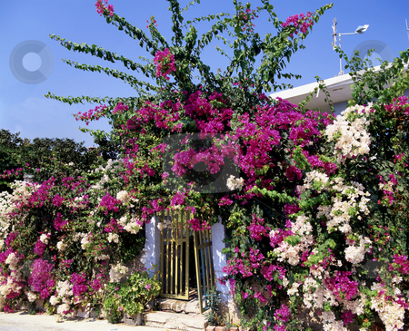 Bougainvillea stock photo, Bougainvillea blooms around a garden gate in by Paul Phillips