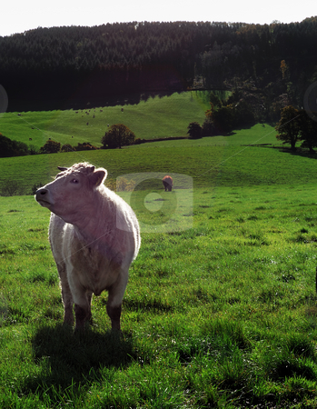 White bull in field in sunshine stock photo, A white bul standing prominant in a green field on a sunny day by Stefan Edwards