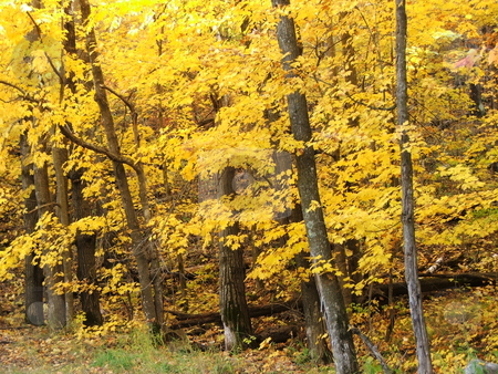 Brilliant Gold & Yellow Maple Tree Leaves stock photo, A hillside of maple trees is ablaze with brilliant yellows and golds of fall near Walker, MN. by Dennis Thomsen