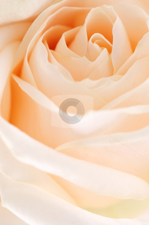 Beige rose stock photo, Delicate high key beige rose macro floral background by Elena Elisseeva