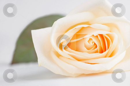 Delicate beige rose stock photo, Delicate high key beige rose macro with a leaf by Elena Elisseeva