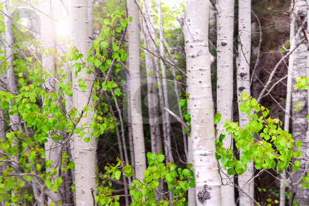 Aspen grove stock photo, Natural background of aspen tree trunks in a grove with sunlight by Elena Elisseeva