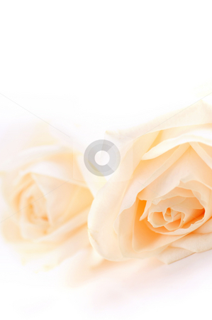 Beige roses stock photo, Macro of two delicate high key beige roses on white background by Elena Elisseeva