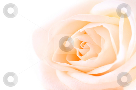Delicate beige rose stock photo, Delicate high key beige rose macro on white background by Elena Elisseeva