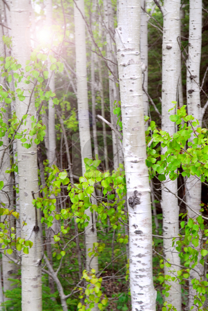 Aspen grove stock photo, Natural background of aspen tree trunks in the spring with sunlight by Elena Elisseeva