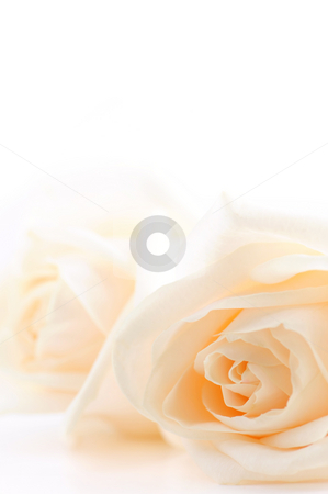 Beige roses background stock photo, Floral background of two delicate high key beige roses macro on white by Elena Elisseeva