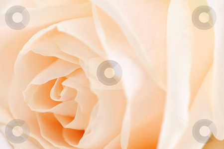 Beige rose stock photo, Macro of a delicate beige rose flower by Elena Elisseeva
