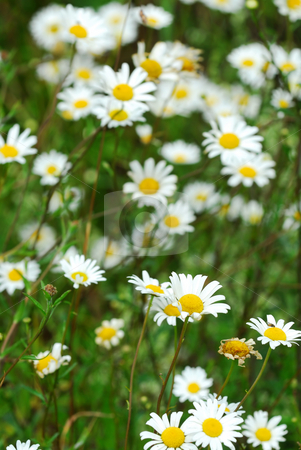 Wild daisies stock photo, White wild daisies blooming in the summer meadow by Elena Elisseeva