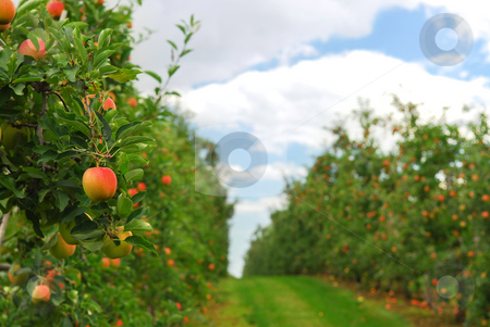 Apple orchard stock photo, Red ripe apples on apple trees branches in the orchard by Elena Elisseeva