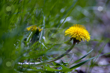 Dandelion stock photo, A single dandelion growing sideways out of the ground by Richard Nelson