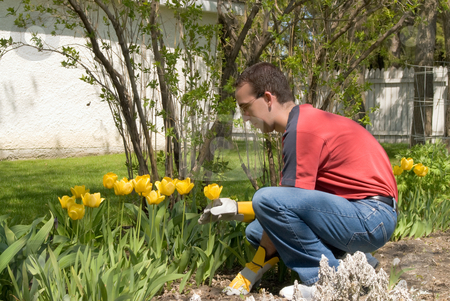 Male Gardener stock photo, A male gardener taking care of his yellow tulips by Richard Nelson