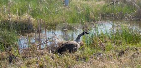 Canada Goose stock photo, A canada goose walking through a marsh by Richard Nelson