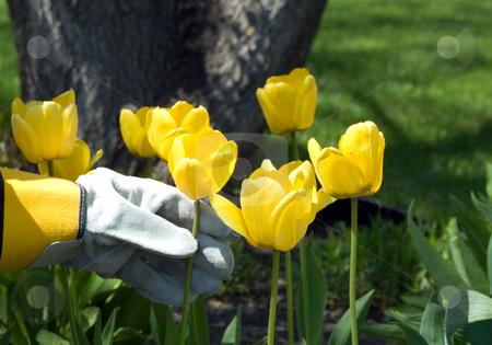 Gardener stock photo, Close-up of a gardener working in the flower garden by Richard Nelson