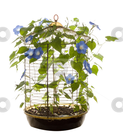 Isolated Morning Glory stock photo, An isolated bird cage containing morning glory flowers and vines by Richard Nelson