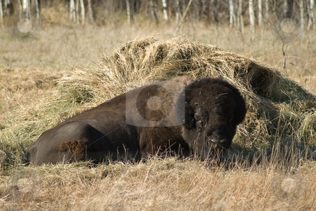 Bison stock photo, A large bison lying down by a pile of hay by Richard Nelson