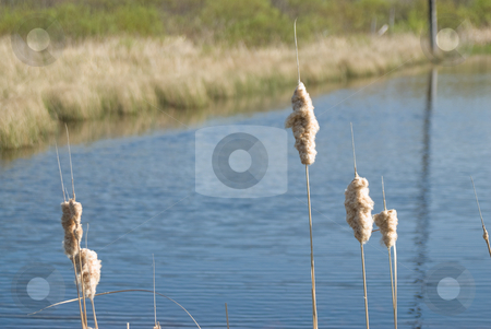 Exploded Cattail stock photo, Cattails in the water have exploded with fluff by Richard Nelson