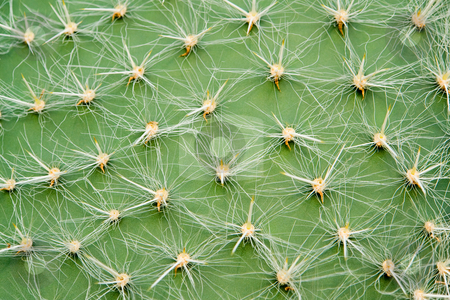 Opuntia stock photo,  by Wolfgang Heidasch