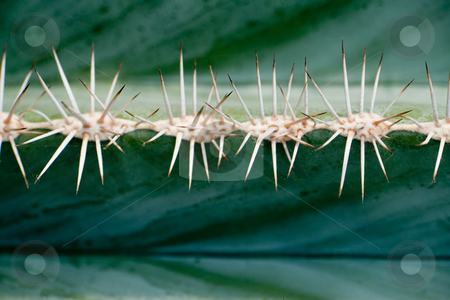 Cactaceae Pachycereus stock photo, Cactaceae Pachycereus by Wolfgang Heidasch