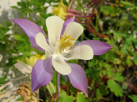 Aquilegia stock photo,  by Wolfgang Heidasch