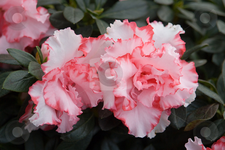 Rhododendron, Azalee stock photo, Rhododendron, Azalee by Wolfgang Heidasch