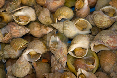 Wellhornschnecke stock photo, Http://de.wikipedia.org/wiki/Wellhornschnecke by Wolfgang Heidasch