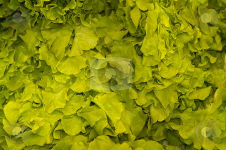 Eichblatt Salat stock photo, Eichblatt Salat by Wolfgang Heidasch