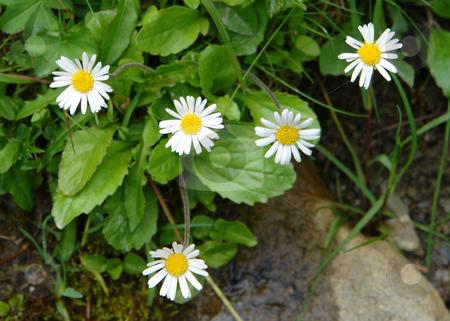 Daisy Daisies stock photo, Urlaub Pfingsten 2006 Hinterglemm ???sterreich by Wolfgang Heidasch