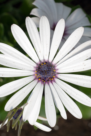 Daisy stock photo, A white daisy with a blue center shot at a top view by Richard Nelson
