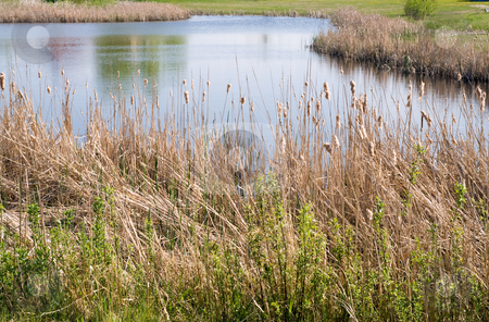 Pond stock photo, A small pond with cattails in the foreground by Richard Nelson