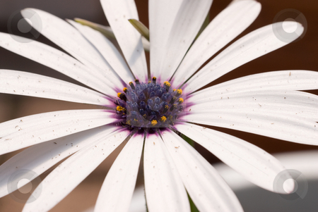 Close-up Daisy stock photo, Close-up view of a white daisy with a blue center by Richard Nelson