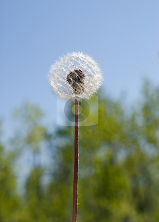 Blowball stock photo, A low angle view of a single blowball by Richard Nelson